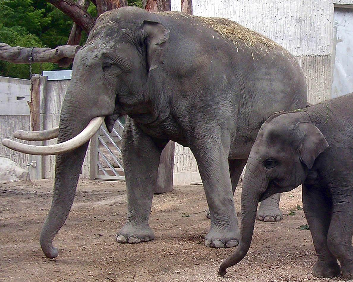 アジアのブル象