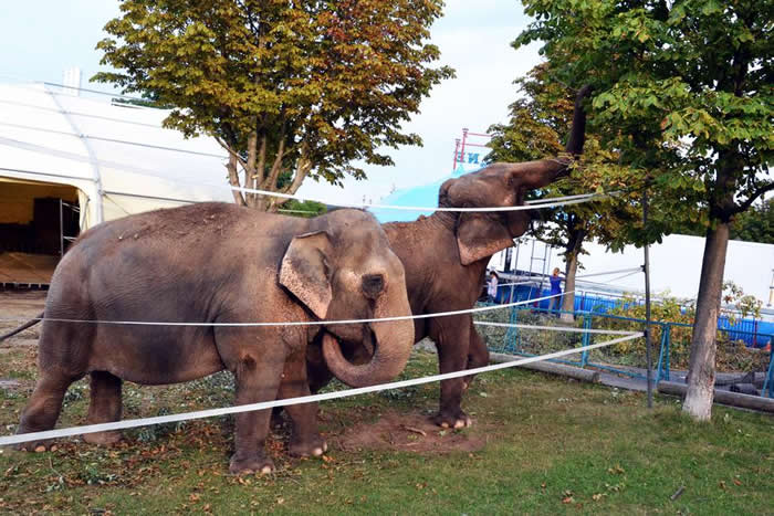 4758675_1_elefantenimcircuskrone