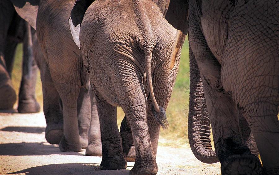 elefantenschwanz