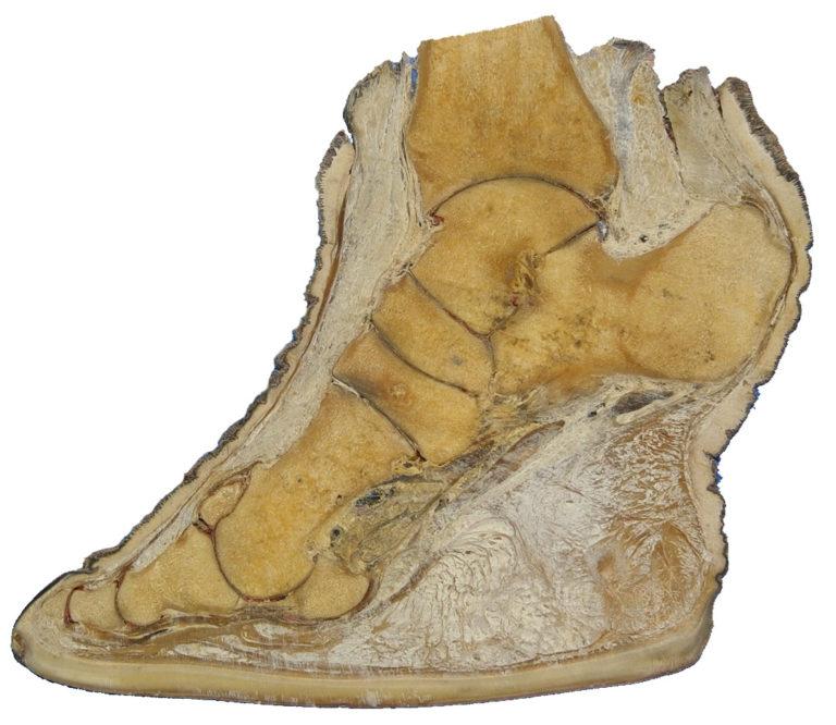 ゾウの足の矢 状断面図(アンドレアス・ベンツ Andres Benz 博士提供)