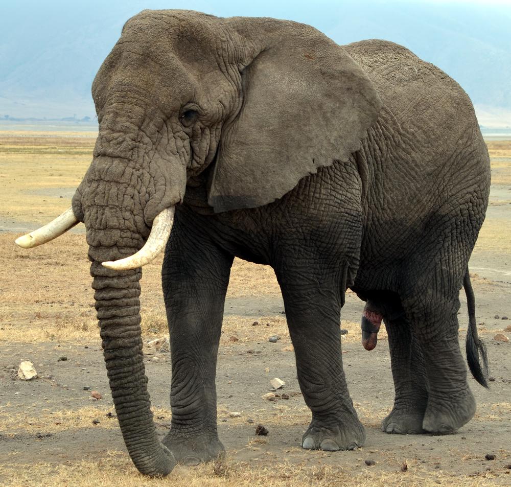 アフリカのブル象