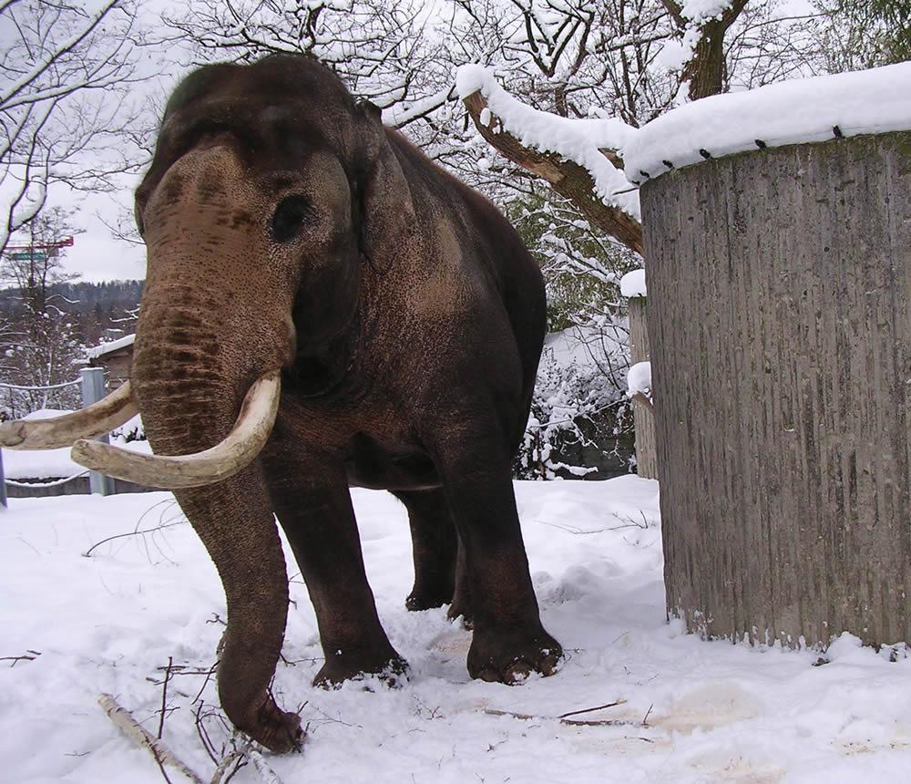 雪の中で象