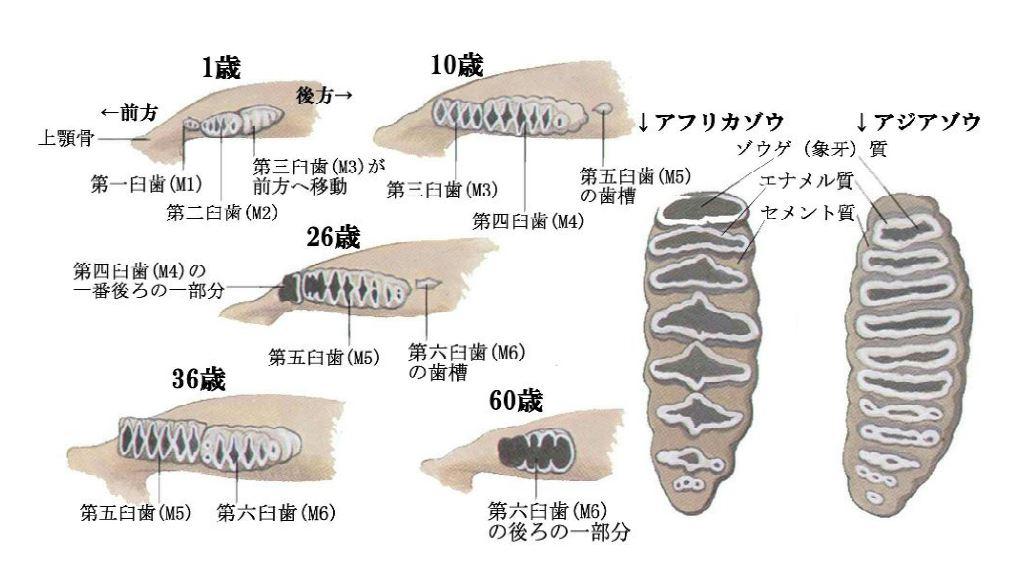 ゾウの歯は,なにが特殊(独特)か