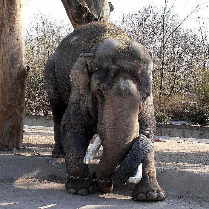 Maxie bull-elephant Zurich